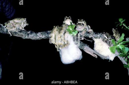 amphibian-frog-foam-nest-a8hbea.jpg