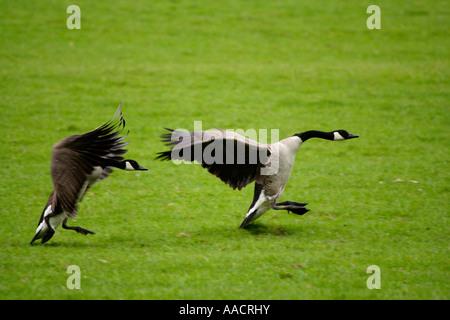 Canada Goose' official queensryche