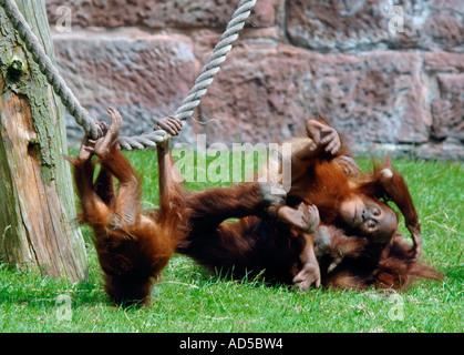 The Sumatran Orang Utan Sanctuary of... - The Bohorok Orangutan Centre at Bukit Lawang