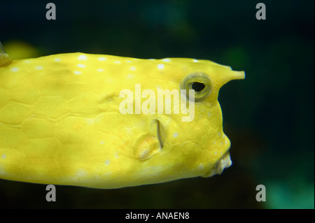 a longhorn cowfish stock image