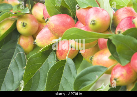 how to tell if crab apples are ripe