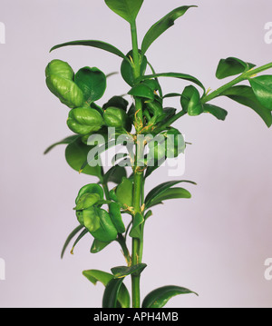 Buxus Stock Photos Amp Buxus Stock Images Alamy