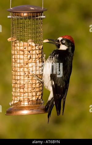 Acorn woodpecker stock photos acorn woodpecker stock for Acorn feeder