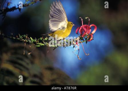 native-honeycreeper-amakihi-at876r.jpg