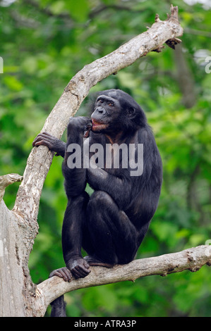 an analysis of the pan paniscus bonobo species of chimpanzee in zaire river basin The bonobo (pan paniscus) previously called the pygmy chimpanzee and less often, the dwarf or gracile chimpanzee, is a great ape and one of the two species making up the genus pan.