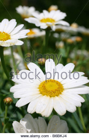 daisy looking flowers stock photos  daisy looking flowers stock, Beautiful flower