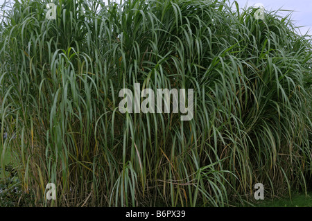 miscanthus stock photos miscanthus stock images alamy. Black Bedroom Furniture Sets. Home Design Ideas