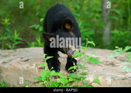 American Black Bears Stock Photos & American Black Bears Stock Images ...