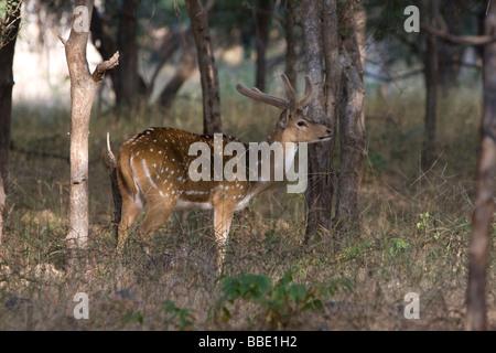Indian Food Deer Run