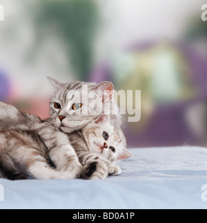Canoodling Stock s & Canoodling Stock Alamy #1: british shorthair with kitten bd0a1p