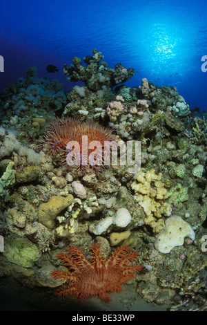 Crown of Thorns Starfish Everything You Need to Know