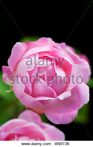 Picturesque Rose Stock Photos  Rose Stock Images  Alamy With Interesting Rosa Gertrude Jekyll Syn Ausbord Pink Rose David Austin Roses  Stock  Image With Lovely Plants Vs Zombies Garden Warfare Pc Also Winter Garden Events In Addition Great Gardens Online And Stanfords Covent Garden As Well As Wooden Garden Arch With Gate Additionally Craven Hill Gardens From Alamycom With   Interesting Rose Stock Photos  Rose Stock Images  Alamy With Lovely Rosa Gertrude Jekyll Syn Ausbord Pink Rose David Austin Roses  Stock  Image And Picturesque Plants Vs Zombies Garden Warfare Pc Also Winter Garden Events In Addition Great Gardens Online From Alamycom
