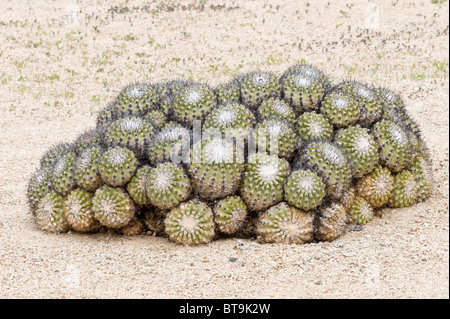 Cactaceae stock photos cactaceae stock images alamy for Feroxcactus chile