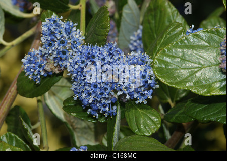 ceanothus stock photos ceanothus stock images alamy. Black Bedroom Furniture Sets. Home Design Ideas
