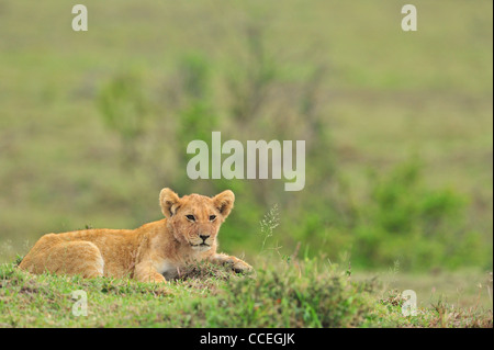 male and female lions stock photos amp male and female lions
