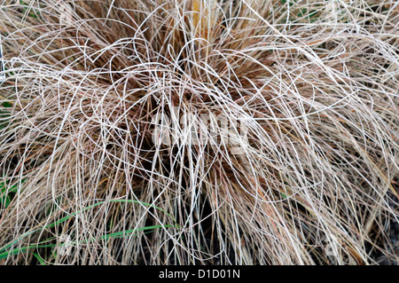 Carex stock photos carex stock images alamy for Brown ornamental grass plants