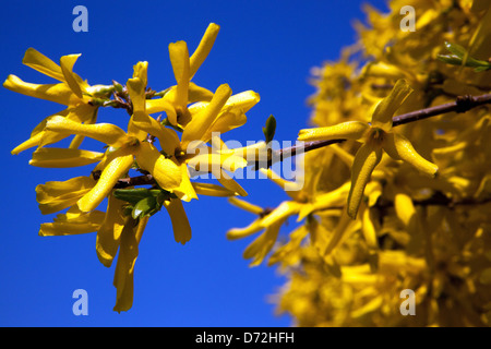 forsythia bush hedge forsythia stock photos forsythia stock images alamy