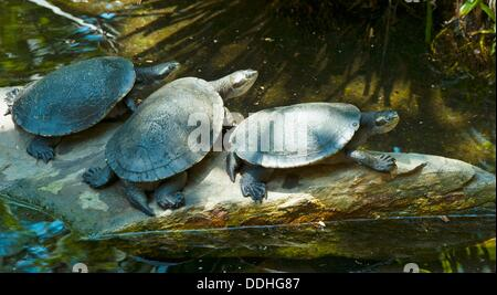 River Turtles Stock Photos & River Turtles Stock Images ...