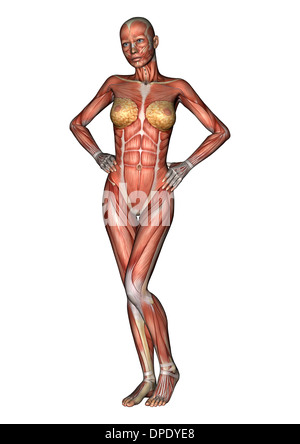 female muscular system stock photos & female muscular system stock, Muscles