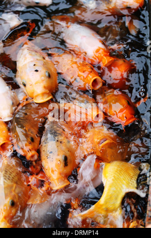 Carp stock photos carp stock images alamy for Decorative carp