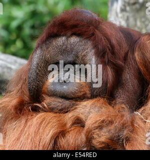Behavioural Health of Reintroduced Orangutans (Pongo abelii) in Bukit Lawang, Sumatra Indonesia