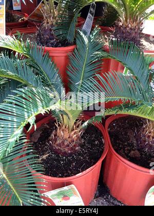 sago palm stock photos sago palm stock images alamy. Black Bedroom Furniture Sets. Home Design Ideas