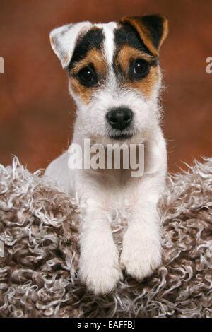 Parson Russell Terrier Growth Prt Stock Photos &...
