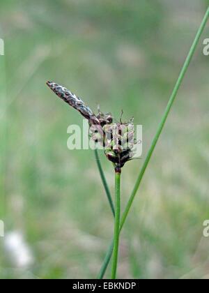 Carex Stock Photos & Carex Stock Images - Page 7 - Alamy
