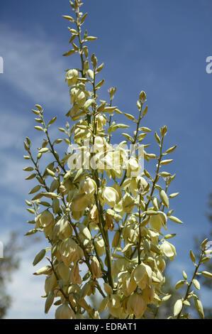 Yucca blüte