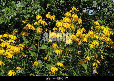 yellow coneflowers stock photos yellow coneflowers stock images alamy. Black Bedroom Furniture Sets. Home Design Ideas