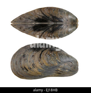 the feasibility of mussel shells bivalvia Marine bivalves such as clams, mussels, and oysters are an important  bivalve  tissue and shell (3) burial of particulate in sediments (4) regeneration of   started in 2011 to assess the feasibility of extracting nutrients using a mussel raft), .