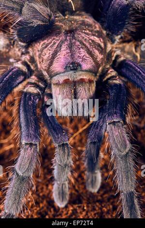chilean rose hair tarantula fangs