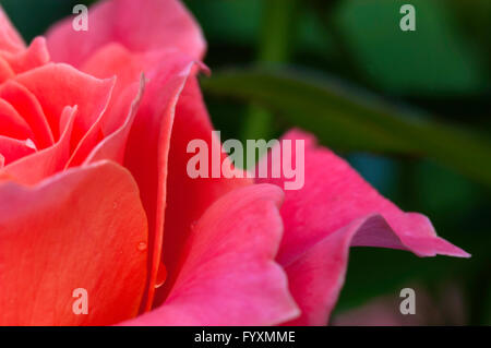 Rose,Rose , LIVING EASY, Close Up,   Stock Image