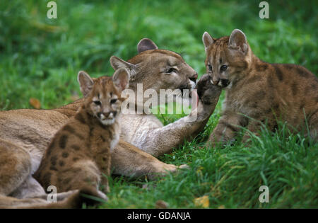 cadiz cougar women Cougar afoot in tuscarawas county jon  among them are one made on july 2 from a woman close to cadiz who saw a big cat  cougars seen on the loose.