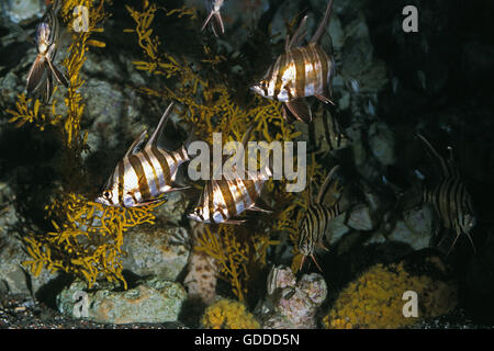 Dory stock photos dory stock images alamy for Old wife fish