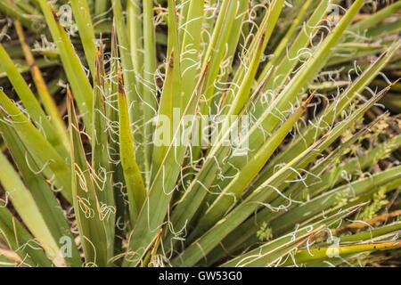 madagascar palm indoor house plant html with Agavaceae on Fichier Dracaena marginata IndoorPlant 0605k in addition Agavaceae likewise Dahlia Flowers together with Houseplants 12 moreover Fall Guy Dracaena Marginata.