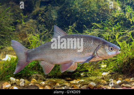 Leuciscus stock photos leuciscus stock images alamy for Goldorfe fisch