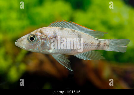 Fische stock photos fische stock images page 11 alamy for Malawi buntbarsch