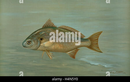 northern squawfish william l stock photos william l stock images page 10 alamy