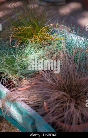 Carex Bronze Reflection | rheumri.com