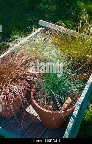 Carex Bronze Reflection | Bronze – databypass.info