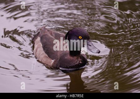 Water Fowl Stock Photos & Water Fowl Stock Images - Page 7 ...