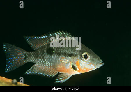 Cichlid stock photos cichlid stock images alamy for Malawi buntbarsch