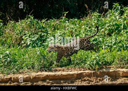Water Jaguar Stock Photos Water Jaguar Stock Images Alamy