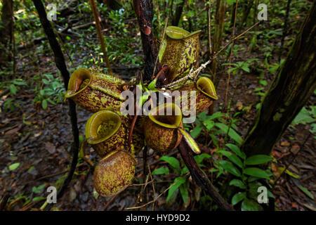pitcher-plant-hyd9d2.jpg