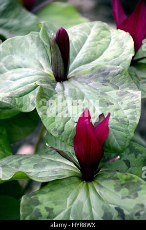 Pleasing Giant Flowers Stock Photos  Giant Flowers Stock Images  Page   With Exquisite A Bunch Of Giant Purple Wakerobin Trillium Kurabayashii In A Border At Rhs  Garden With Adorable Year Round Greenhouse Gardening Also The Hatton Hatton Garden In Addition Garden Shade Fabric And Ladies Gardening Gifts As Well As Songs Of Savage Garden Additionally Garden Gate Pub Hampstead From Alamycom With   Exquisite Giant Flowers Stock Photos  Giant Flowers Stock Images  Page   With Adorable A Bunch Of Giant Purple Wakerobin Trillium Kurabayashii In A Border At Rhs  Garden And Pleasing Year Round Greenhouse Gardening Also The Hatton Hatton Garden In Addition Garden Shade Fabric From Alamycom