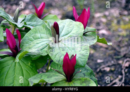 Remarkable Giant Flowers Stock Photos  Giant Flowers Stock Images  Page   With Fascinating A Bunch Of Giant Purple Wakerobin Trillium Kurabayashii In A Border At Rhs  Garden With Beauteous Jade Garden Stone Cross Also Garden Sails In Addition L Occitane Covent Garden And Exbury Gardens As Well As Colby Woodland Gardens Additionally Dan Pearson Gardens From Alamycom With   Fascinating Giant Flowers Stock Photos  Giant Flowers Stock Images  Page   With Beauteous A Bunch Of Giant Purple Wakerobin Trillium Kurabayashii In A Border At Rhs  Garden And Remarkable Jade Garden Stone Cross Also Garden Sails In Addition L Occitane Covent Garden From Alamycom