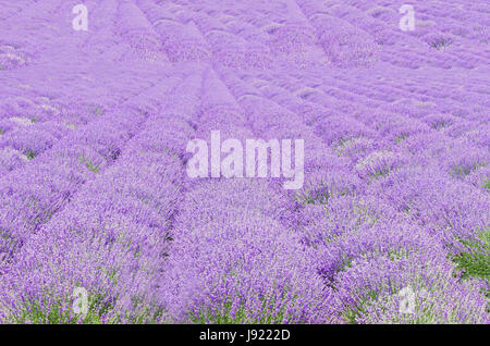 Pleasing Lavandula Stock Photos  Lavandula Stock Images  Alamy With Great Field Of Mauve Purple Lavandula Angustifolia Lavender Most Commonly True  Lavender Or English With Attractive Tall Garden Sprinklers Also Hilton Garden Inn Lakewood In Addition Watch The Secret Garden And Garden Turf Bq As Well As Hay Bale Gardening Additionally I Have A Rat In My Garden From Alamycom With   Great Lavandula Stock Photos  Lavandula Stock Images  Alamy With Attractive Field Of Mauve Purple Lavandula Angustifolia Lavender Most Commonly True  Lavender Or English And Pleasing Tall Garden Sprinklers Also Hilton Garden Inn Lakewood In Addition Watch The Secret Garden From Alamycom