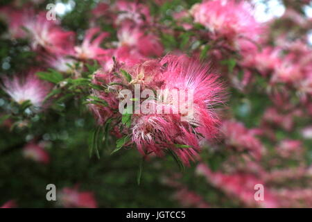 a persian silk tree in bloom in yamato japan in the us these - Silk Trees