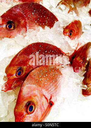 Red snapper stock photos red snapper stock images page for Stock fish for sale texas